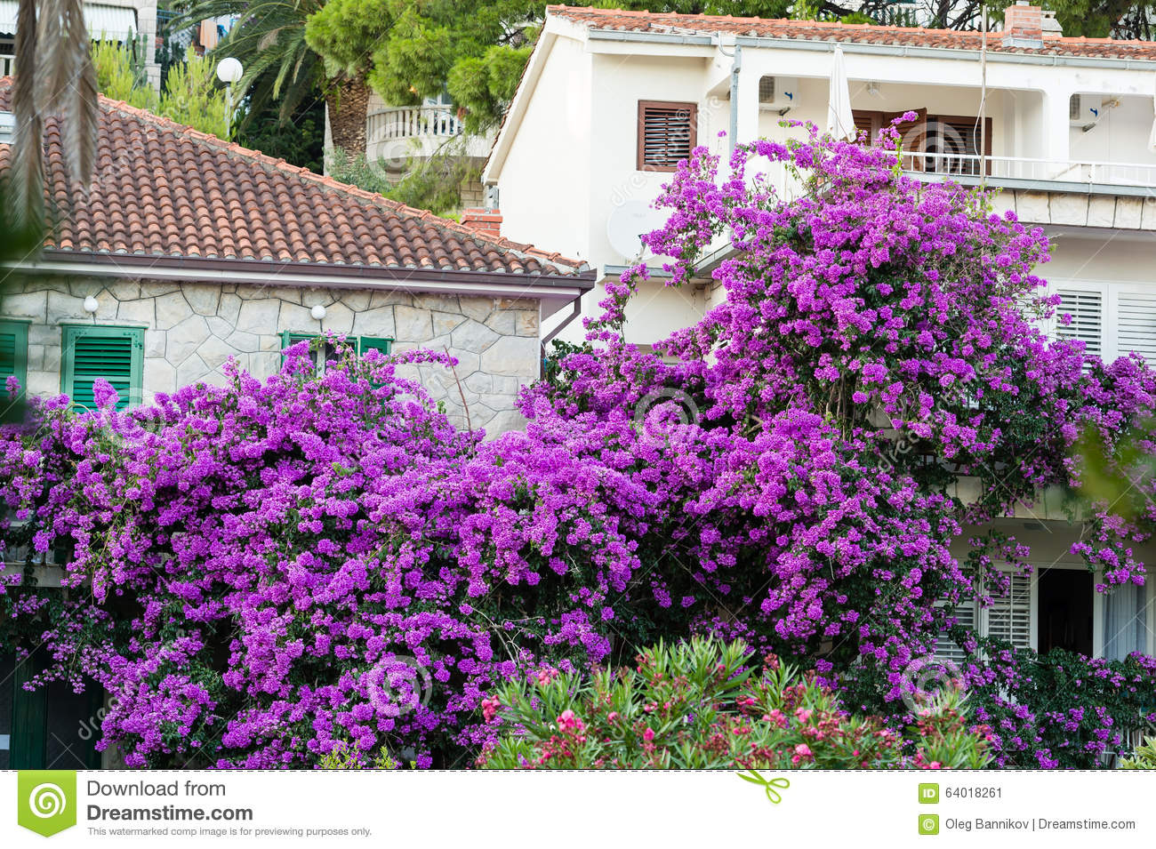 Mediterranean Flower Tree On The Adriatic Coast. Stock Photo.