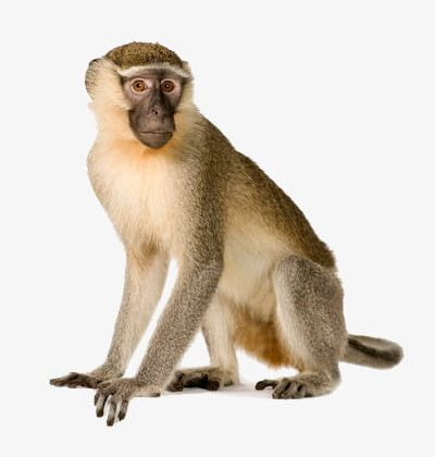 Adult Monkey PNG, Clipart, Adult Clipart, Animal, Crawl.