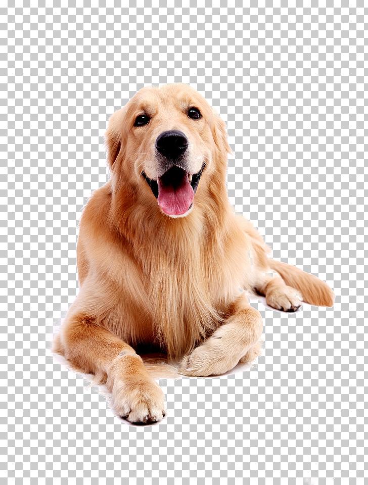Golden Retriever Labrador Retriever Puppy, Dog pet Golden.
