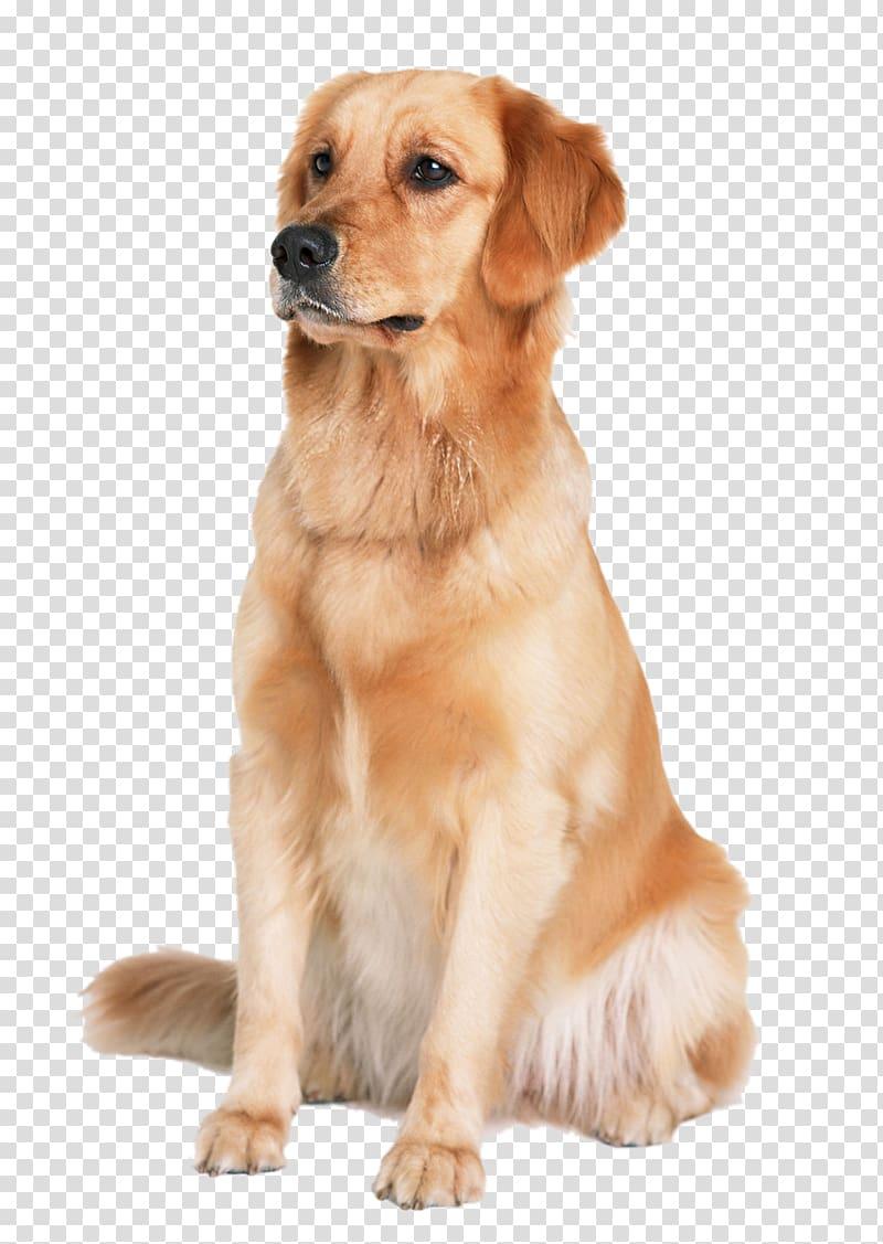 Adult golden retriever, Golden Retriever Labrador Retriever.