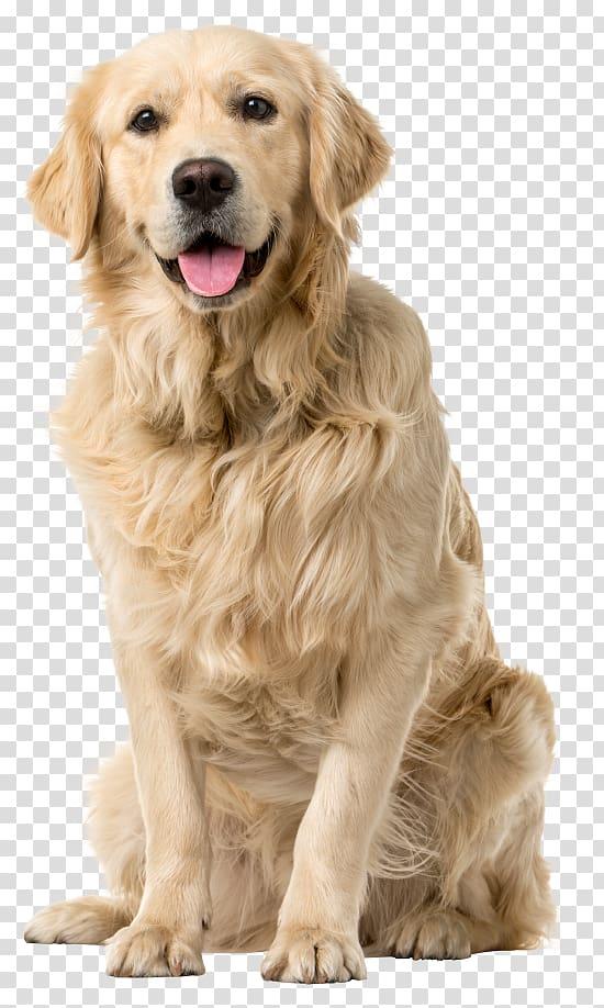 Adult yellow Labrador retriever, Golden Retriever Labrador.