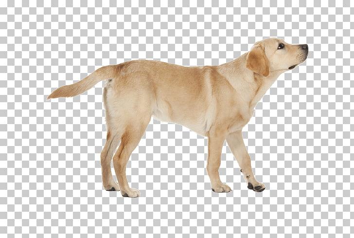 Labrador Retriever Golden Retriever Dog breed Companion dog.