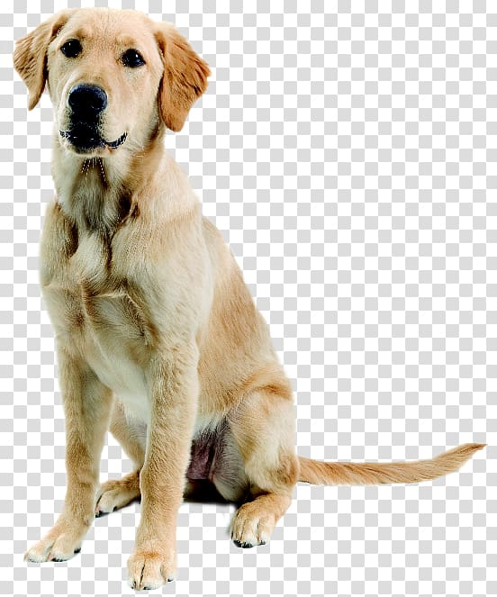 Adult brown Labrador retriever , New Guinea singing dog.