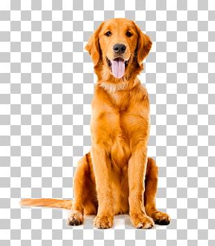 Golden Retriever Labrador Retriever Labradoodle Puppy Cat.