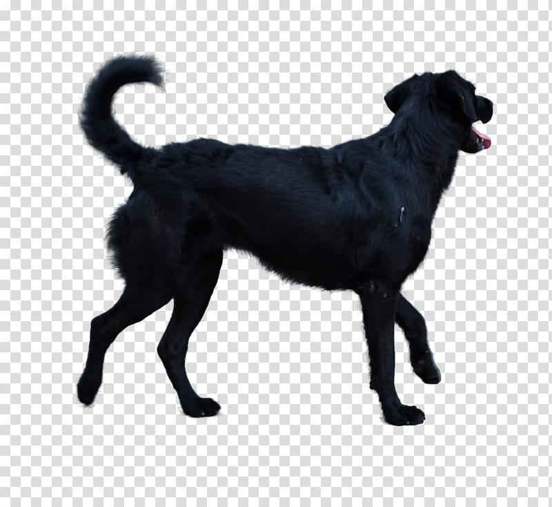 Dog, adult black Labrador retriever transparent background.