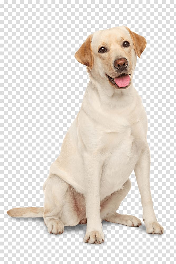 Sitting adult yellow Labrador retriever, Labrador Retriever.