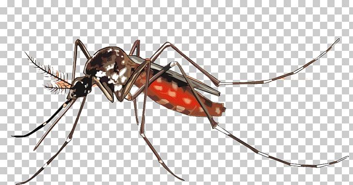 Yellow fever mosquito Dengue Aedes albopictus Mosquito.