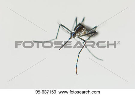Stock Photograph of Newborn female Asian Tiger Mosquito (Aedes.