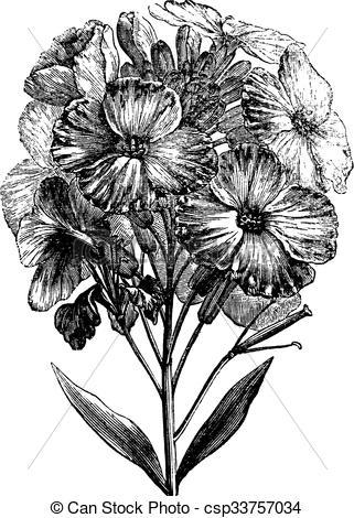 Vectors of Aegean wallflower or Erysimum cheiri vintage engraving.