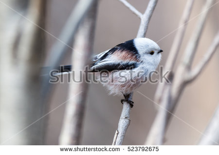 Aegithalidae Stock Photos, Royalty.