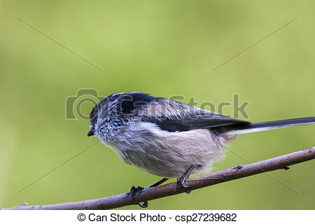 Pictures of Long Tailed Tit (Aegithalos caudatus) perched on a.