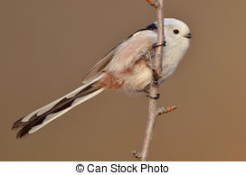 Stock Photographs of long tailed tit in natural habitat.