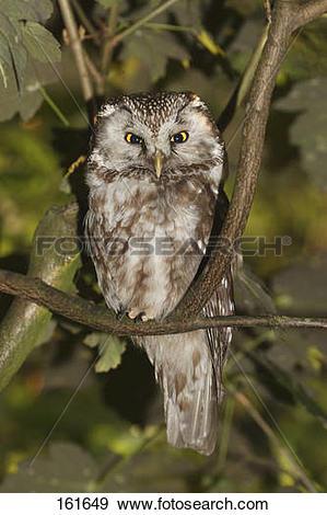 Stock Photograph of Tengmalm's Owl on twig / Aegolius funereus.