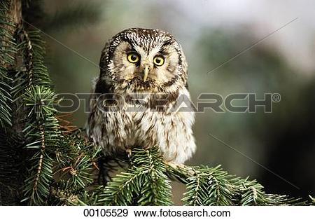 Stock Photograph of Richardson's owl, Aegolius funereus.