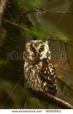 "true Owl"" Stock Photos, Royalty."