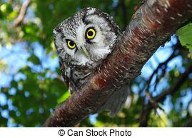 Stock Image of Owl (Aegolius funereus) on a tree branch in.