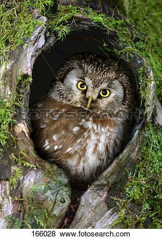 Pictures of Tengmalm's Owl / Aegolius funereus 166028.
