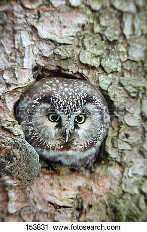 Stock Photography of Tengmalm's Owl / Aegolius funereus 153831.