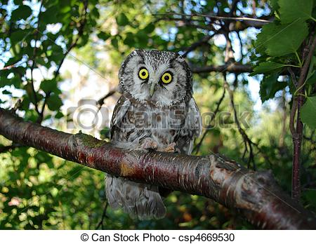 Stock Photography of Owl (Aegolius funereus) on a tree branch in.