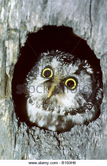 Adult Boreal Owl Aegolius Funereus Stock Photos & Adult Boreal Owl.