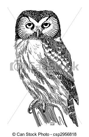 Stock Illustration of Boreal Owl.