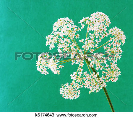 Stock Photo of Aegopodium podagraria bishop's weed goutweed flower.