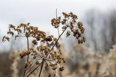 Ground Elder (Aegopodium Podagraria) Stock Photo.