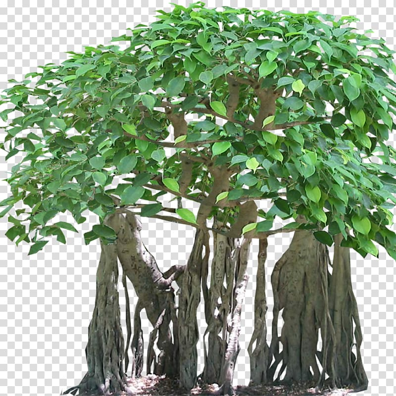 Tree Tropical rainforest Banyan Aerial root, fig transparent.