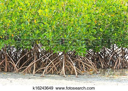 Stock Photograph of Mangrove plant in sea shore aerial roots.