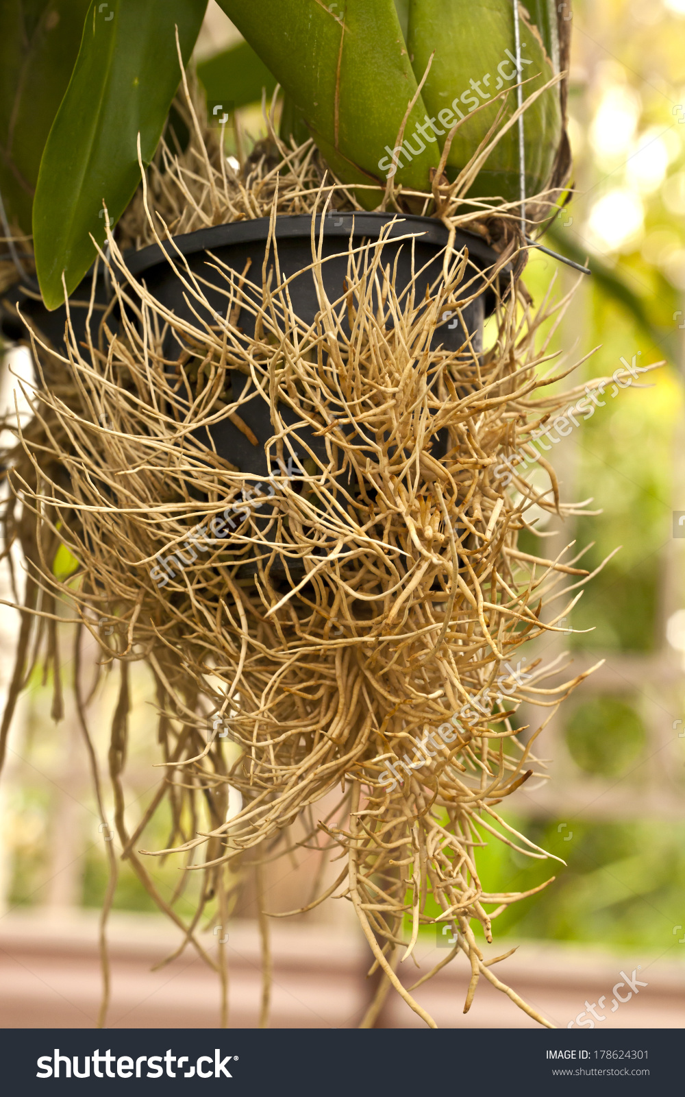 Aerial Roots Orchid Root Plant Root Stock Photo 178624301.