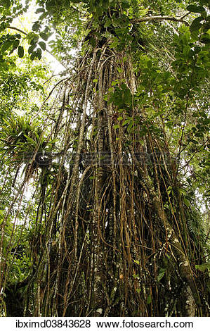 Pictures of Weeping Fig (Ficus) with aerial roots in the Cocos.