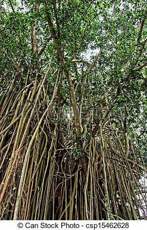 Stock Photography of Aerial roots of a big tree.