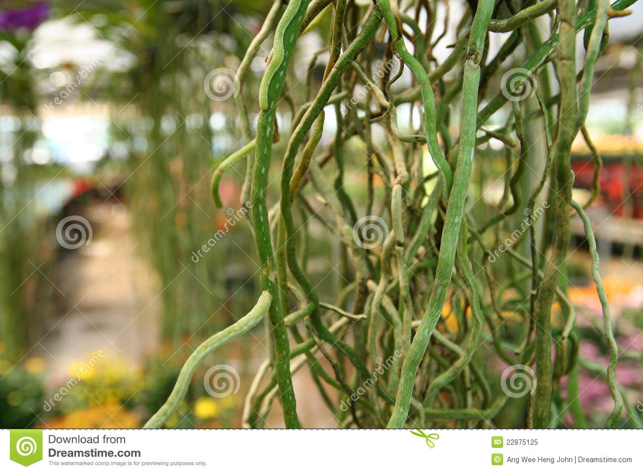Aerial Roots Royalty Free Stock Photo.