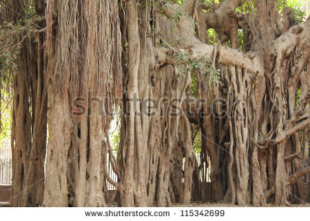 Aerial Roots Stock Photos, Royalty.