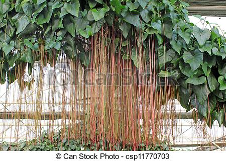 Stock Photography of aerial roots of tropical plants.