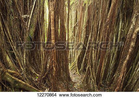 Stock Photo of Aerial roots of large Banyan Tree at Akaka Falls.