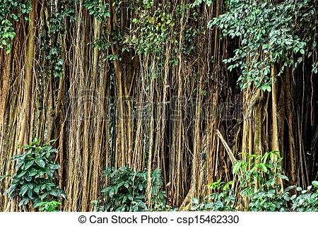Stock Photo of Aerial roots of a big tree.
