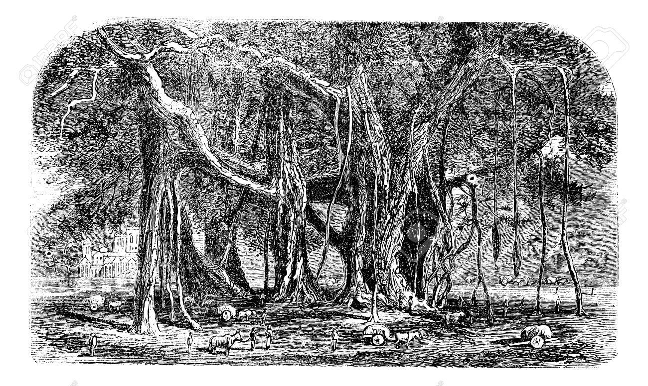 Banyan Or Ficus Benghalensis, Vintage Engraving. Old Engraved.