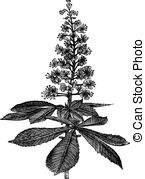 Aesculus Illustrations and Stock Art. 52 Aesculus illustration and.