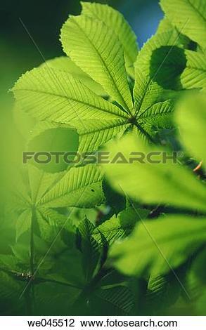 Stock Photo of Chestnut tree (Aesculus hippocastanum) leaf in.