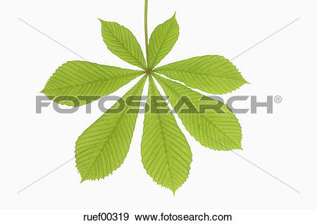 Stock Photograph of Horse Chestnut leaf (Aesculus hippocastanum.
