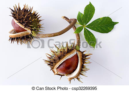 Stock Photographs of Aesculus hippocastanum / Common Horse.