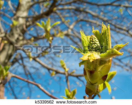 Stock Photo of Chestnut tree, Aesculus hippocastanum, buds and.