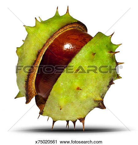 Stock Photography of Conker, horse chestnut, Aesculus.