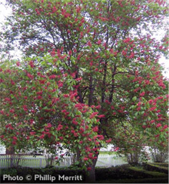 Buy affordable Red Buckeye trees at our online nursery.