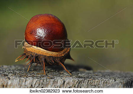 Stock Photo of Chestnut (Aesculus hippocastanum) ibxikn02382923.
