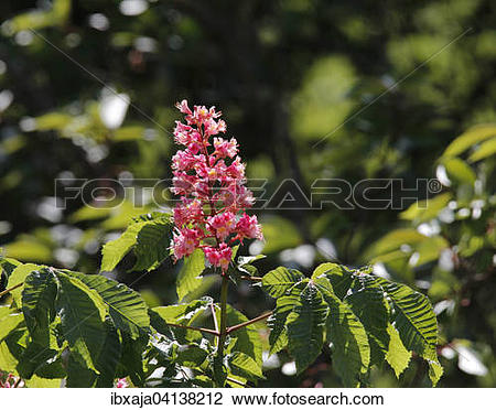 Stock Photo of Blossoming Horse Chestnut (Aesculus carnea.