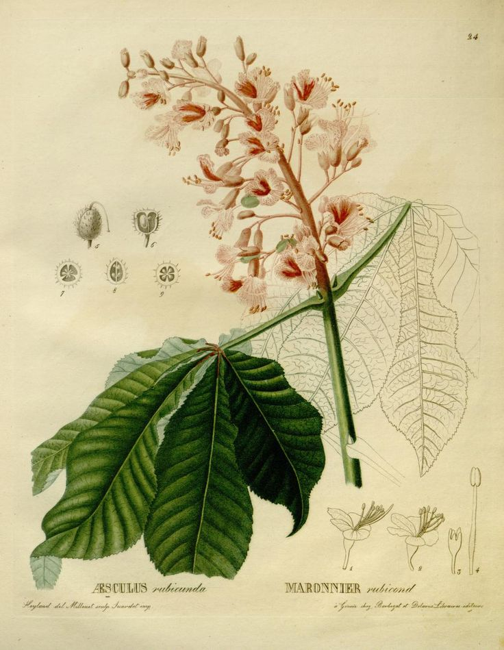 1000+ images about Botanical prints, illustration on Pinterest.