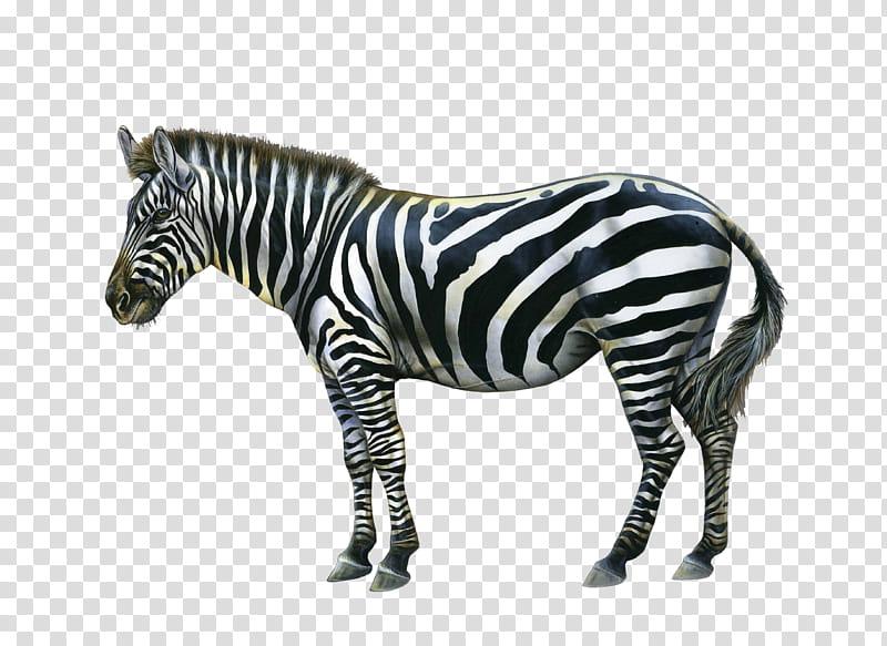 Zebra, black and white zebra transparent background PNG.