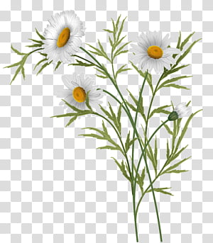 Daisies , white daisy flowers illustration transparent.